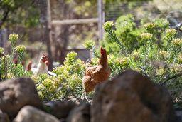 Auch für frische Eier ist gesorgt :-) (c) Tobias Schorr