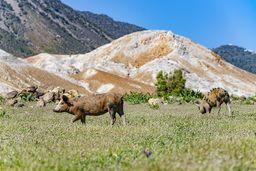 Freilaufende Schweinchen in der Caldera. (c) Tobias Schorr