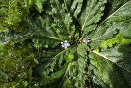 """Blüte der Alraune. Eine sehr giftige Pflanze, die früher für ihre """"magischen Kräfte"""" berüchtigt war. (c) Tobias Schorr"""
