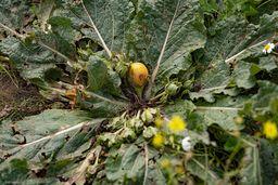 Frucht der Alraune. Auch, wenn man die Früchte theoretisch im reifen (!) Zustand essen könnte, ist das Risiko zu hoch, eine halbreife, giftige Frucht zu erwischen! Einfach Hände weg! (c) Tobias Schorr