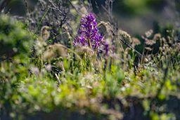 Eine Orchidee (Knabenkraut). (c) Tobias Schorr