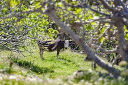 Freilaufende Kuh im Feigen-Hain. (c) Tobias Schorr