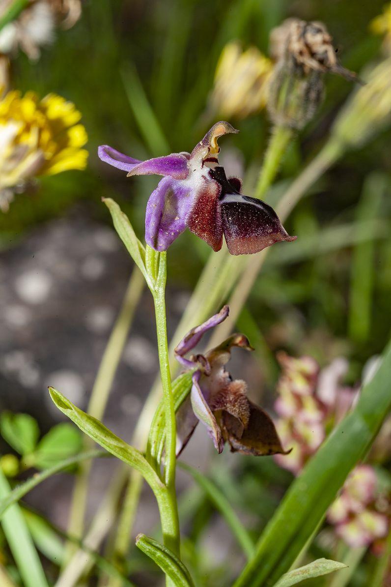 Auch auf der Vulkaninsel Nisyros findet man im Frühling seltene Orchideen. (c) Tobias Schorr