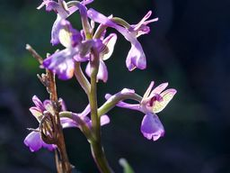 Seltene Orchidee aus Nisyros (Knabenkraut)