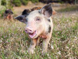 Auf Nisyros laufen Schweinchen frei herum