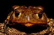 Erdkröten sieht man eigentlich nur abends oder nach dem ersten Regen in Troizen