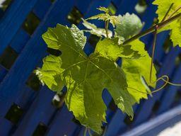 Gefüllte Weinblätter sind eine Leckerei in Griechenland. (c) Tobias Schorr