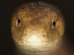 """Scheltopusik (Pseudopus apodus). Eine Art """"Schleiche"""", also eher mit den Echsen, als den Schlangen verwandt. (Männchen). Voidokilia-Bucht bei Pylos. (c) Tobias Schorr"""