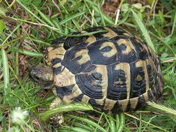 Griechische Landschildkröte. (c) Tobias Schorr