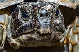 Portrait einer Breitrandschildkröte, die ich oft auf der Wanderung finde. (c) Tobias Schorr