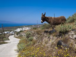 Ein seltener Anblick - ein Esel, der nicht nur zum Schleppen übergewichtiger Touristen mißbraucht wird. (c) Tobias Schorr