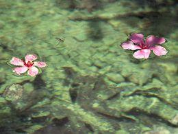 Oleanderblüten schwimmen auf dem klaren Bach Kremastos (c) Tobias Schorr 1990