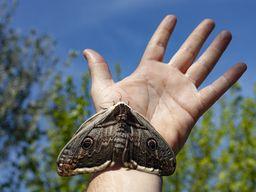 Der größte Schmetterling Methanas, das Nachtpfauenauge