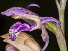 Nahaufnahme der Orchidee limodorum abortivum