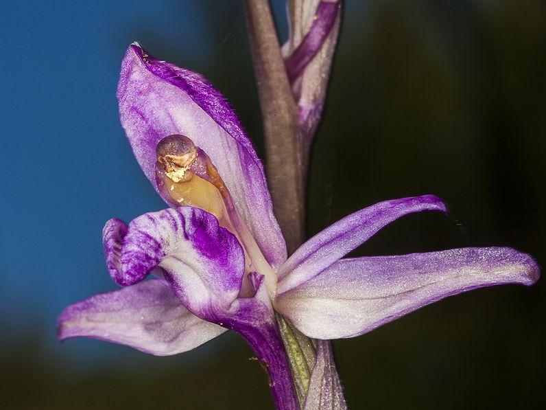 Seltene Orchideen mit dem Makro-Objektiv, Methana/Griechenland (c) Tobias Schorr