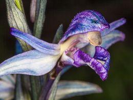 Die größte Orchidee Methanas, der violette Dingel