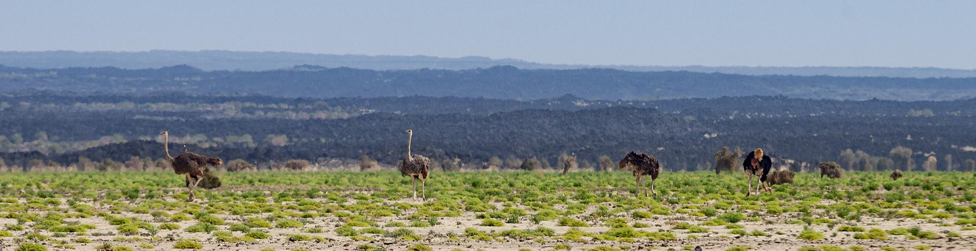 Vogelsträuße in der Danakil-Wüste